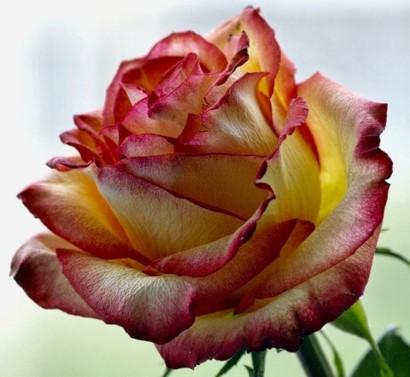 delight-rose