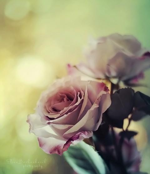 roses_by_xoronar