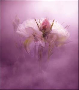 vef-white-rose-pink-bud-misty
