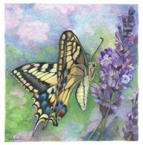 butterfly-lavender-flowers