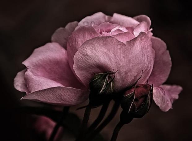dark-pink-rose-lovely